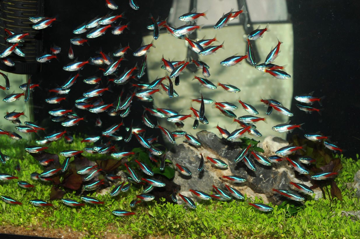 Watch besides Watch furthermore Watch further White And Blue Betta Fish as well Oscar Fish Teeth. on oscar fish mates