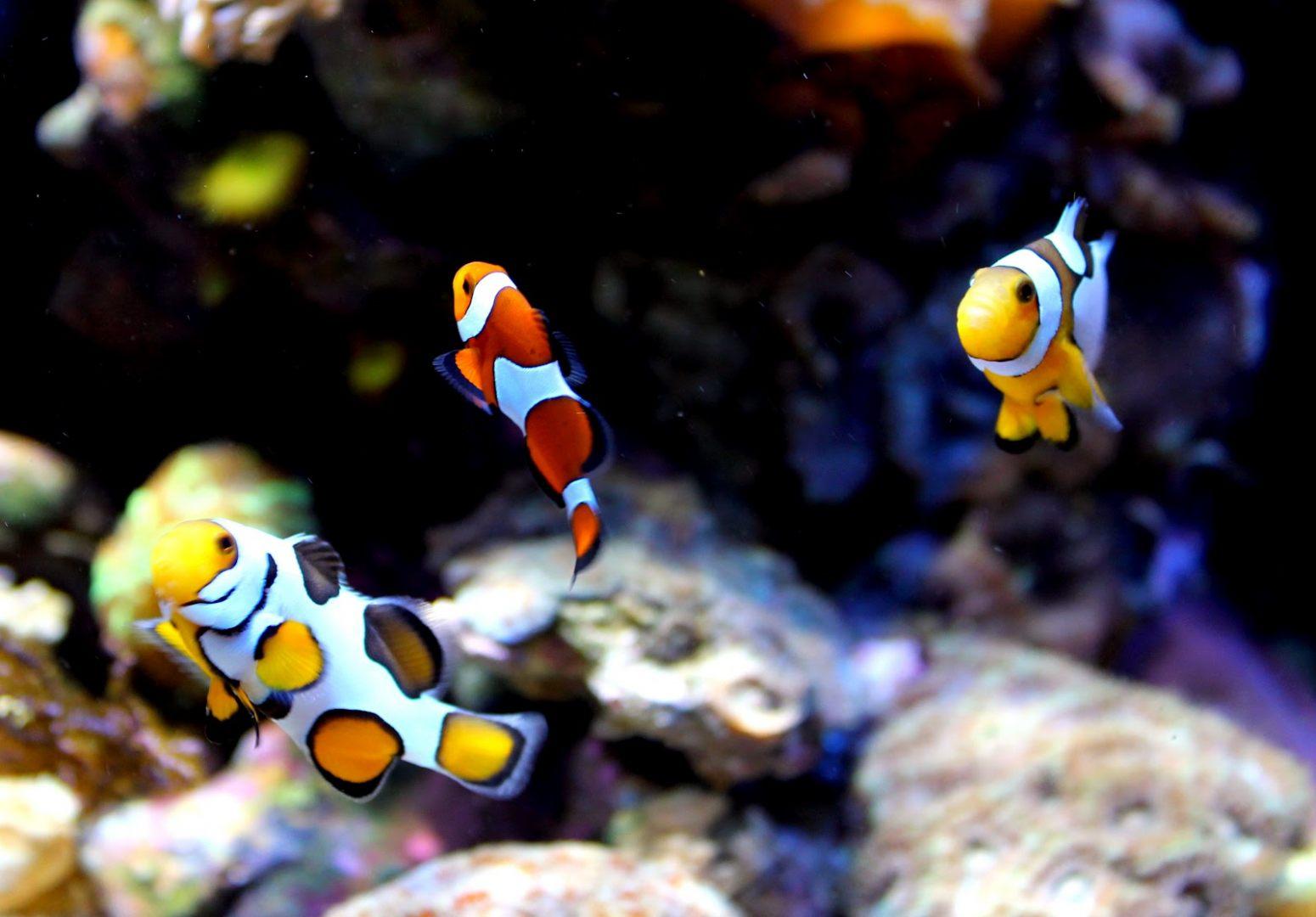 Galeria de fotos e imagens: Peixe-palhaço